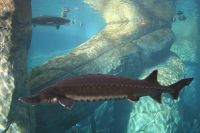 Atlantic sturgeon , Acipenser oxyrinchus, Esturgeon noir