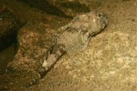 Atlantic hookear sculpin, Artediellus atlanticus, Hame�on atlantique