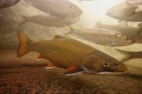 Brook trout, Salvelinus fontinalis, Omble de Fontaine