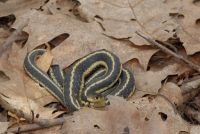 Common Garter Snake , Thamnophis sirtalis, Couleuvre ray�e
