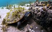 Northern Map Turtle, Graptemys geographica, Tortue g�ographique