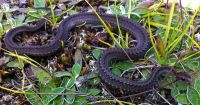 Redbelly Snake, Storeria occipitomaculata, Couleuvre � ventre rouge