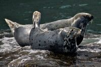 Grey Seal, Halichoerus grypus, Phoque gris