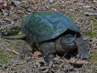 Common Snapping Turtle, Chelydra serpentina, Ch�lydre serpentine
