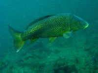 Carpe commune, Cyprinus carpio, Common carp