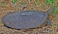 Spiny Softshell Turtle, Apalone spinifera, Tortue-molle � �pine