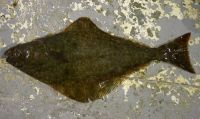 Atlantic Halibut, Hippoglossus hippoglossus, Fl�tan atlantique