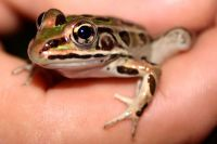 Northern Leopard Frog, Lithobates pipiens, Grenouille l�opard