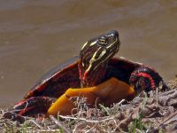Eastern Painted Turtle, Chrysemys picta, Tortue peinte